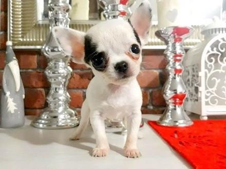 Malutki Antoś :)300 gram miłości:) Chihuahua 100%rasy