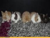 króliczki miniaturki,króliki karzełki teddy miot C