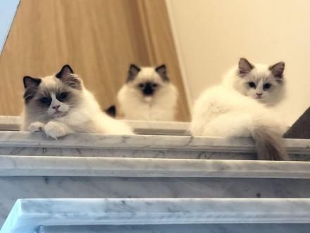 Kochane kocięta rasy Ragdoll