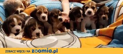 Piękne Rodowodowe Szczenięta Beagle FCI