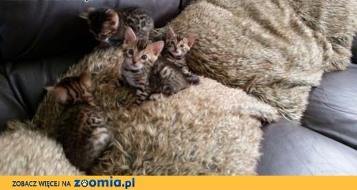Slodki kocieta bengalskie - Babi i Bobi- Podarunek ,  mazowieckie Białobrzegi