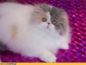 rasowa kotka perska