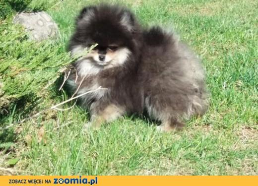 Szpic miniaturowy-Pomeranian,  śląskie Myszków