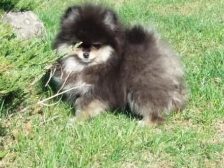 Szpic miniaturowy-Pomeranian   śląskie Myszków