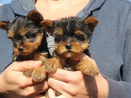 Ogłoszenie Yorkshire Terrier - prawdziwy rodowód