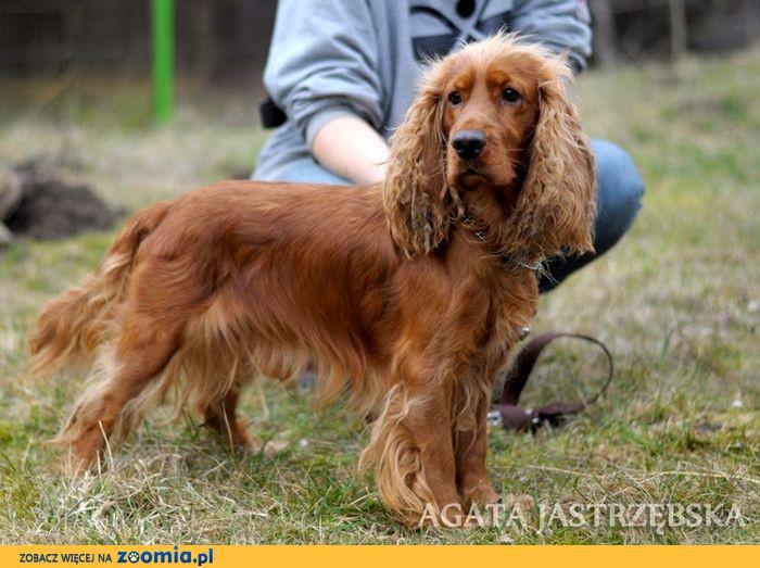 Bardzo dobryFantastyczny Ogłoszenia: oddam psa, oddam szczeniaka Spaniel pl 1 OT48