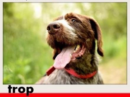 TROP-wyżeł 32kg kotoluby łagodny aktywny duży pies szorstkowłosy   dolnośląskie Wrocław
