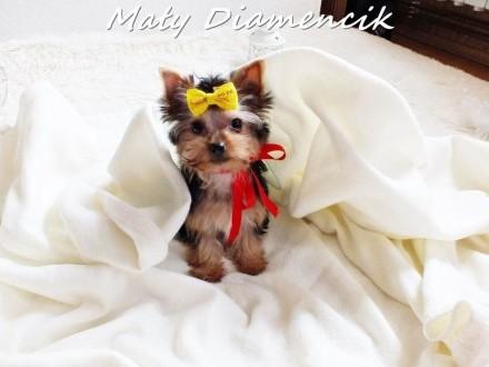 Miniaturowy chłopczyk SZAFIR Yorkshire Terrier York Super Miniaturka!