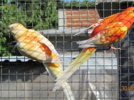 Święrgotki seledynowe mutacji orange rubino