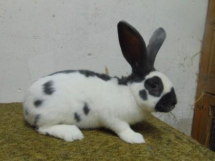 królik  króliki OS biało-niebieski