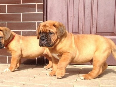 Dogue de Bordeaux Mastif Dog - szczenięta rodowodowe ZKwP / FCI  Iwonicz-Zdrój