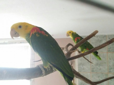 Para dorosła amazonka oratrix 2016r   papuga  papugi