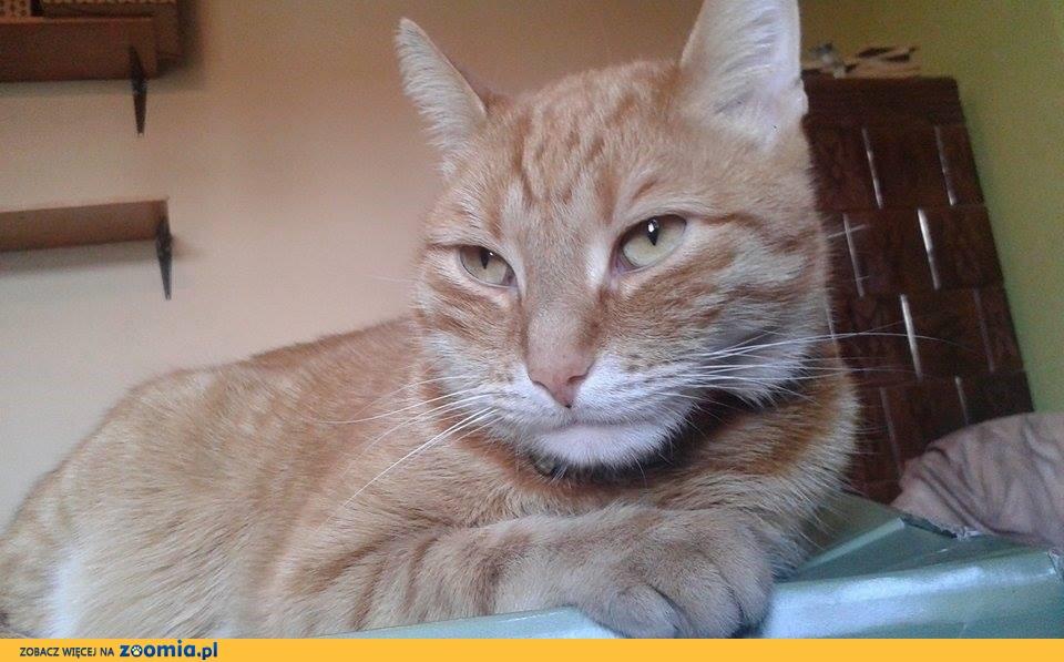Zaginął rudy kot- Przywidz
