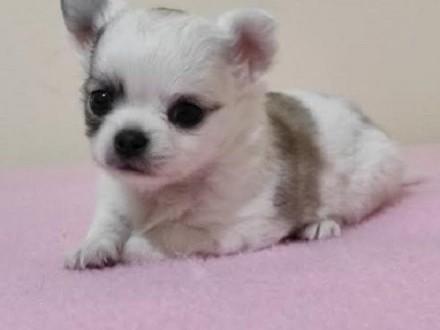 Szczenięta Chihuahua   Chihuahua cała Polska