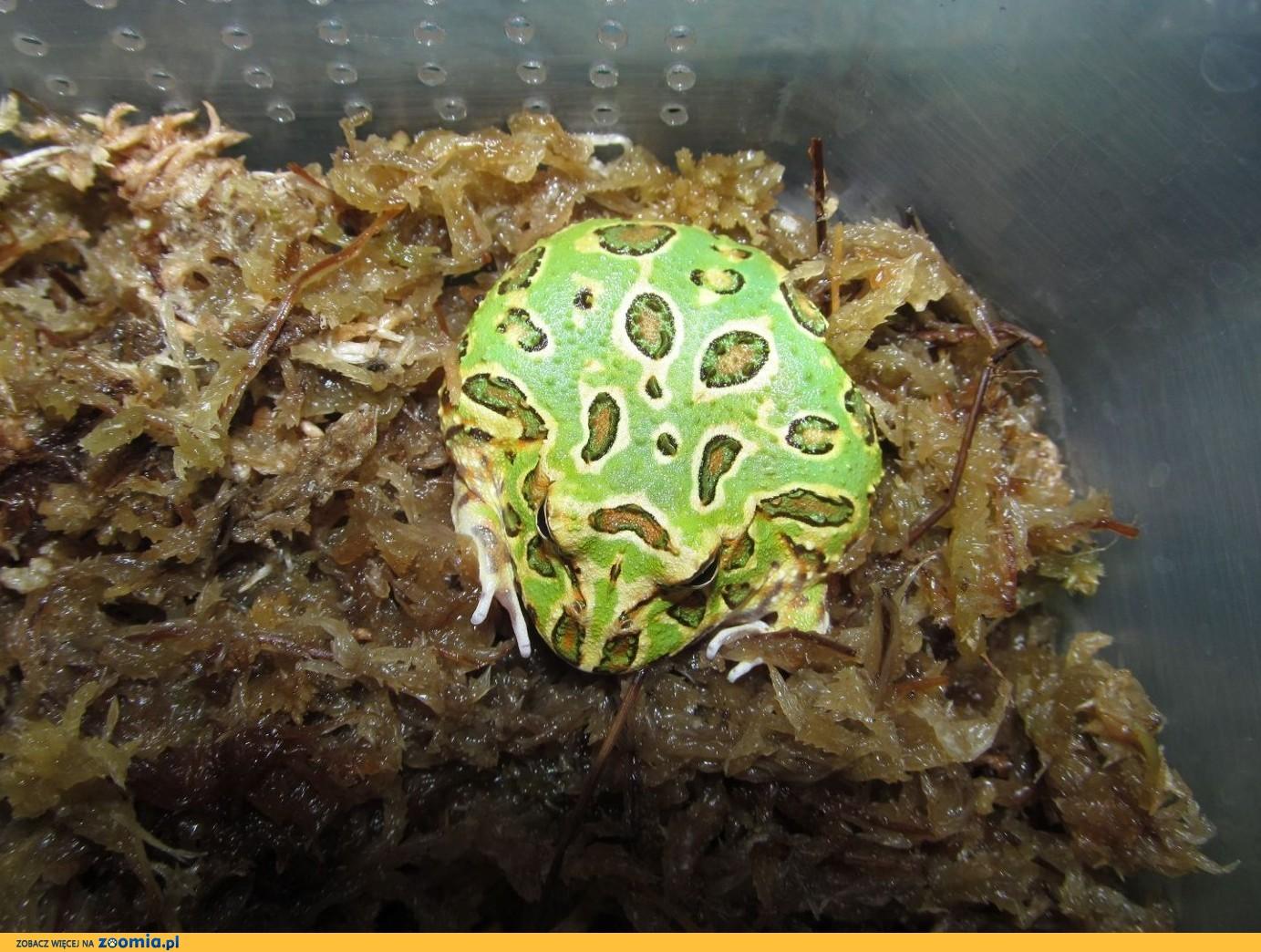 Żaba rogata Bytom