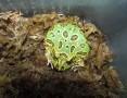 'Żaba rogata Bytom