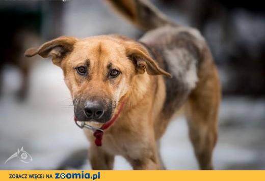 Orion - młody, energiczny pies do adopcji,  lubelskie Lublin