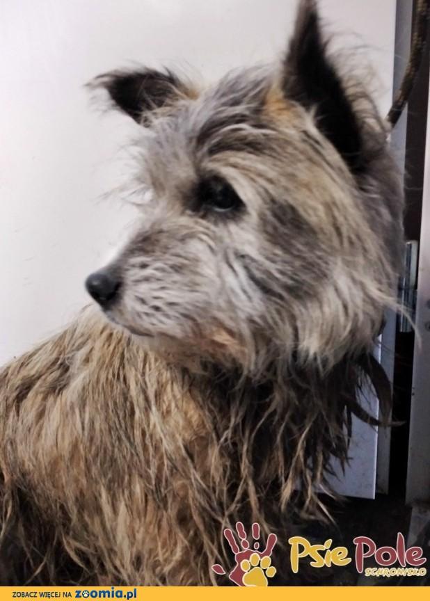SZCZOTUŚ-Mały brudny długowłosy psiak szuka kochającego domu