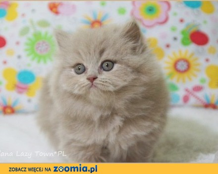 Długowłosa kotka brytyjska rodowód WCF