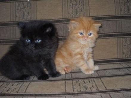 koty persy   śląskie Starachowice