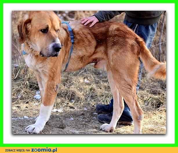Potężny 60 kg, typ molosa,łagodny, do domu z ogrodem, pies GOLIAT_Adopcja_