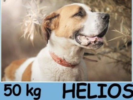 Młody  duży 50 kg w typie bernardyna kontaktowy  mądry pies HELIOSAdopcja   mazowieckie Warszawa