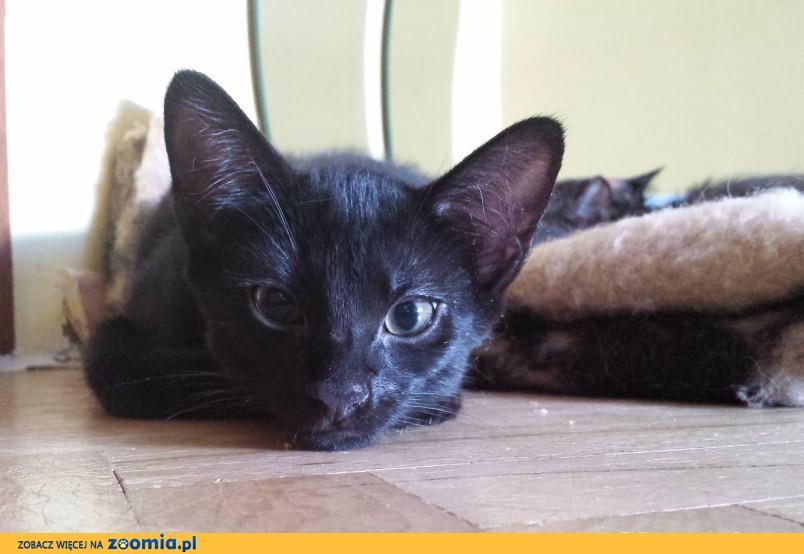 3-miesięczna koteczka do adopcji