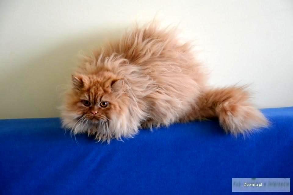 Nowość Rudy Kocurek Perski « Persian « Cats « Archives :: Zoomia ru CK85