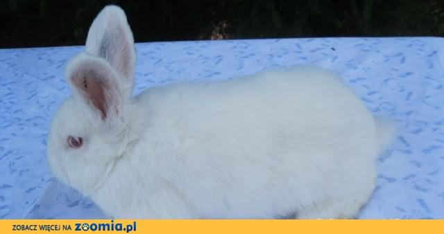 Samczyki - Nowozelandzkie Białe (RASOWE)