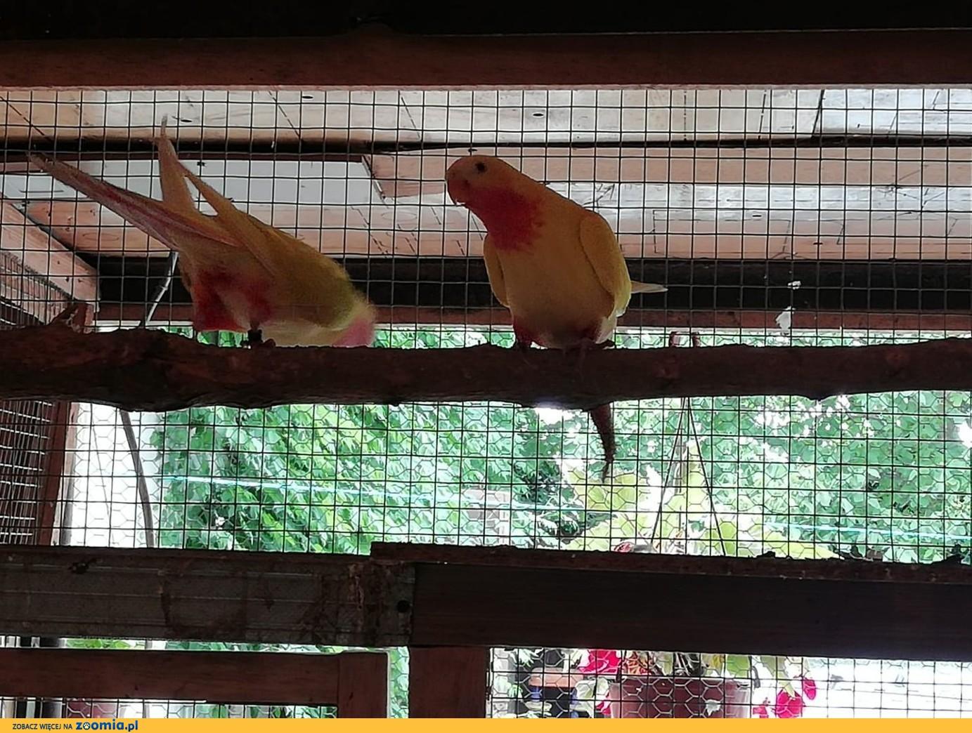 Papugi Księżna Walii dwie pary