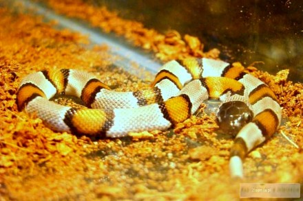 LAMPROPELTIS ALTERNA BLAIRI - Sklep Zoologiczny ZooWitek
