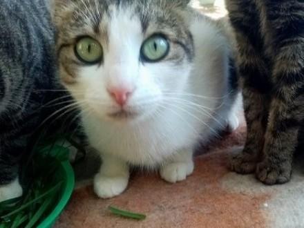 Panna Migotka  ciekawska kotka z wielkimi oczami   warmińsko-mazurskie Olsztyn