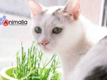 Kotka Śmietanka i kociak Fey kto pokocha te dwie cudne panienki?   Koty pospolite cała Polska