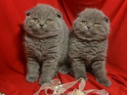 koty brytyjski   lubelskie Tomaszów Lubelski