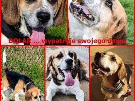 DOLAR ;#8230; wypatruję swojego domku ;#8230;   Beagle cała Polska