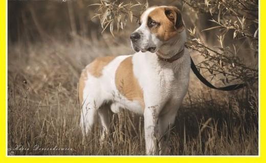 Bernardyn mix  duży 50 kg  3 letni  kontaktowy czujny pies HELIOSAdopcja   wielkopolskie Poznań