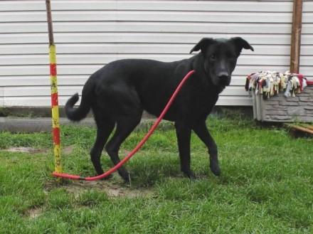 Lotek - młody psiak w typie labradora czeka na dom