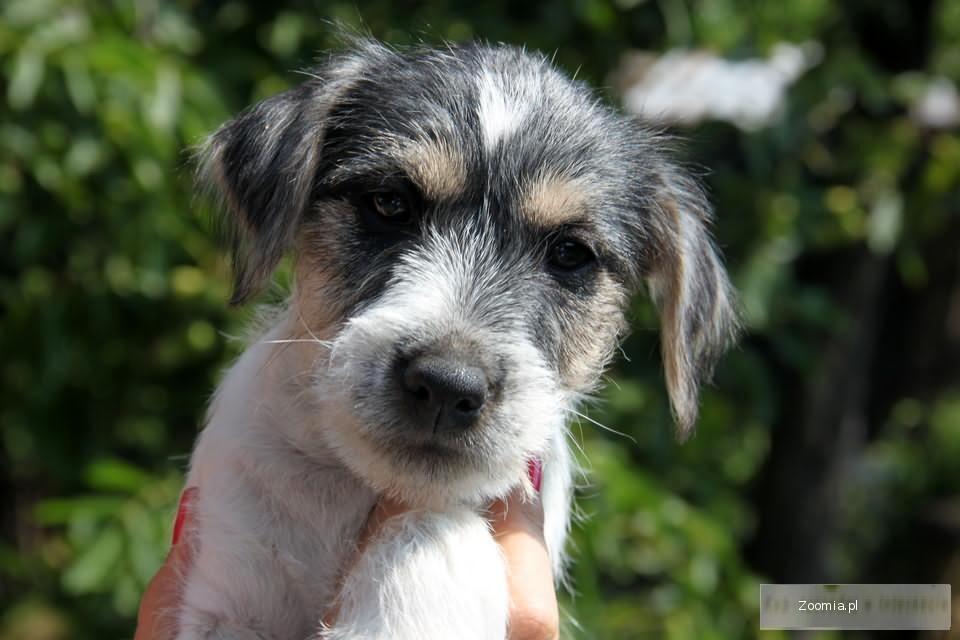 Piękne szczenięta rodowodowe - Parson Russel Terrier