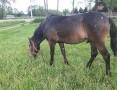 'Sprzedam ogierka Rasa typ koń mały