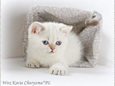 Koty Brytyjskie