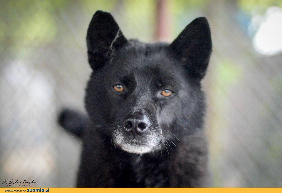 Ministrant, super czarny psiak szuka domu!