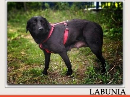 Średnia 15 kg,przekochana,łagodna,wrażliwa,sterylizowana sunia LABUNIA.Adopcja.,  łódzkie Łódź
