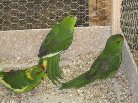 Papugi Modrolotki - Kozie 2020 r