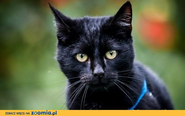 Czarny, piękny kocur Fabian szuka domu