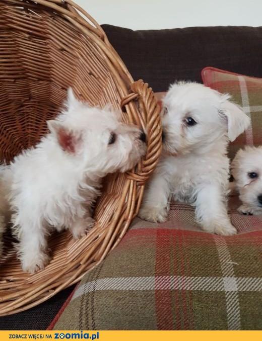 Szczenięta z West Highland Terrier szczeniaki ,  West highland white terrier cała Polska