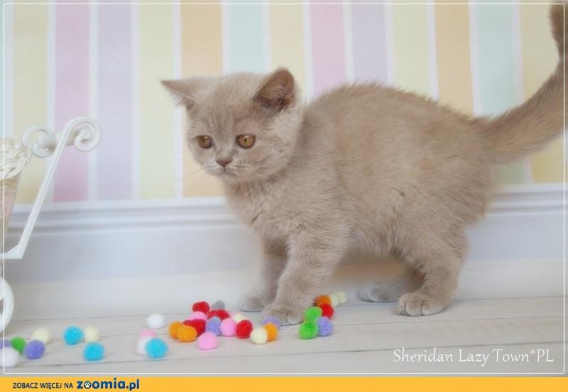 Sheridan kocurek brytyjski kocięta brytyjskie rodowód WCF
