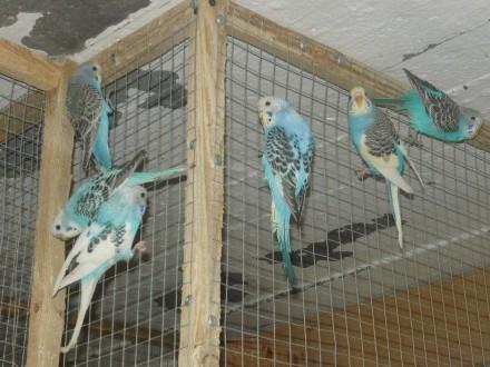 Papużki faliste 2020