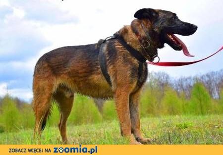 ARES - piękny, wyszkolony pies w typie owczarka do adopcji,  małopolskie Kraków