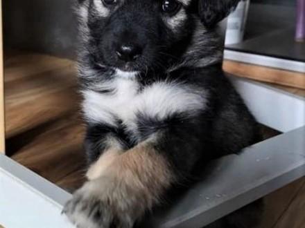 KRÓTKA  PASZCZA i ZEZEK - 3 miesięczne szczeniaki do adopcji   mazowieckie Warszawa
