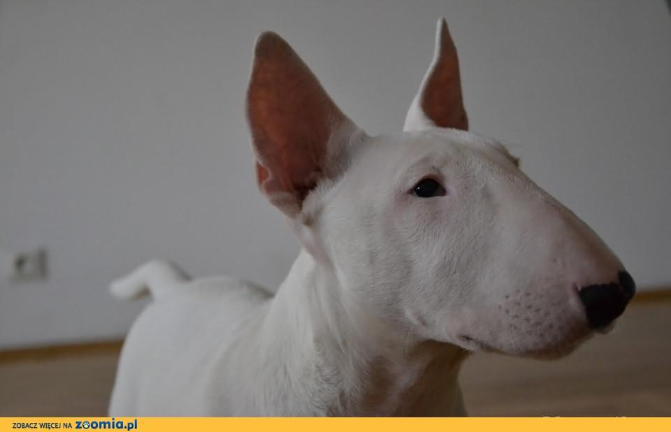 Bull Terrier, Bulterier, 16 tygodni